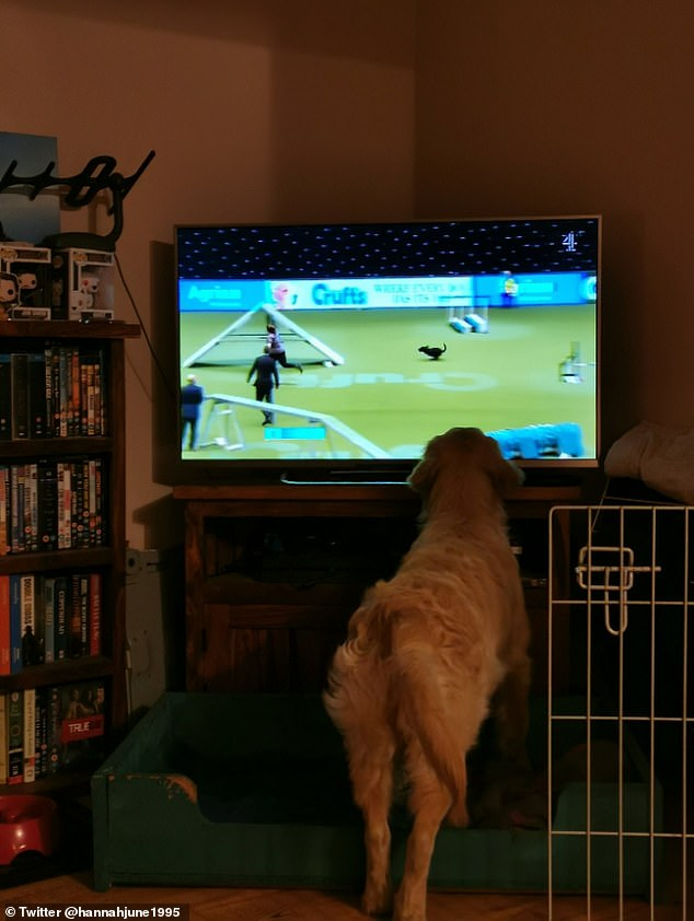 Proud owner Hannah, of Little Glemham, released this seven-month Metri Golden Retriever shot looking at Crufts - apparently
