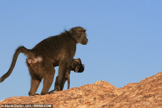 Primate mothers who have died of an infant are saddened to carry the corpse with them - up to months after the tragedy - a study has concluded.  Image: A mother baboon is seen carrying her dead baby with her in Namibia