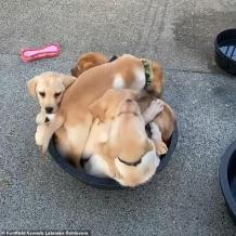 WATCH: Six Adorable Labrador Puppies Pile Into a Dish for a Nap After Dinner