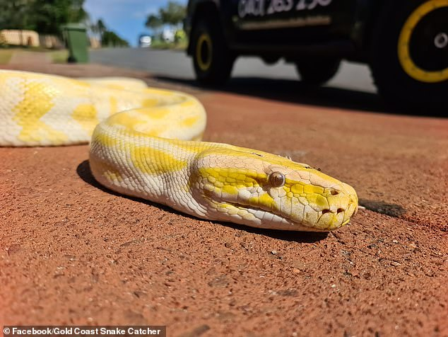 The albino Burmese python is native to the Asia and Africa is illegal to own in Australia.If let into the wild, it may disrupt the habit of many animals so it was euthanised upon its capture