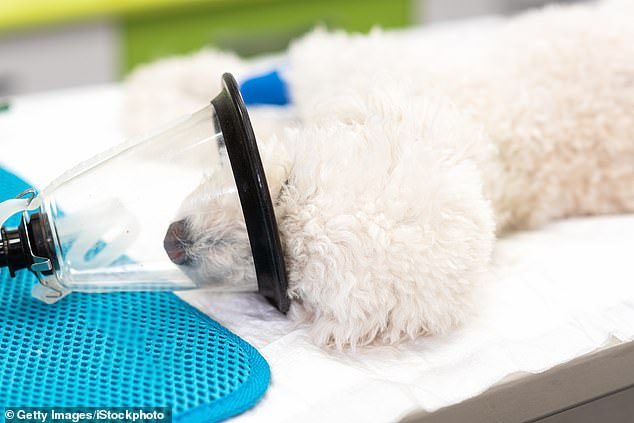 Respiratory machines used on dogs and cats are being pulled from veterinary hospitals across Australia to be used on coronavirus patients requiring intensive care if the current supply is depleted