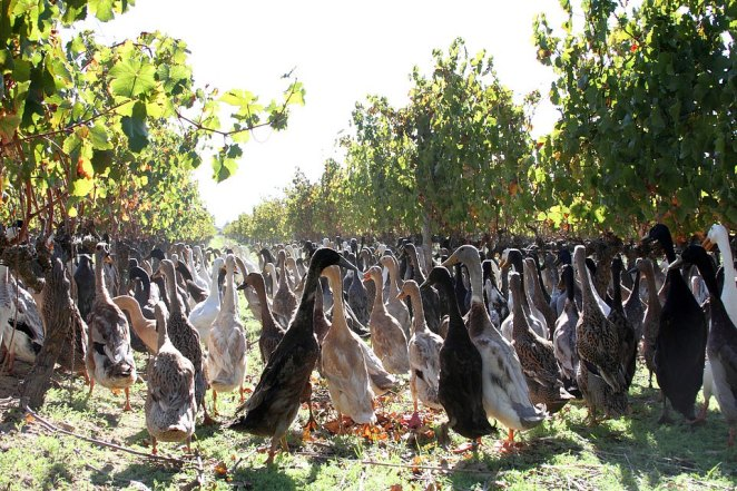 Vergenoegd Löw The Wine Estate in South Africa unleashes 1,600 Indian runner ducks into its vineyards to keep them free from pests
