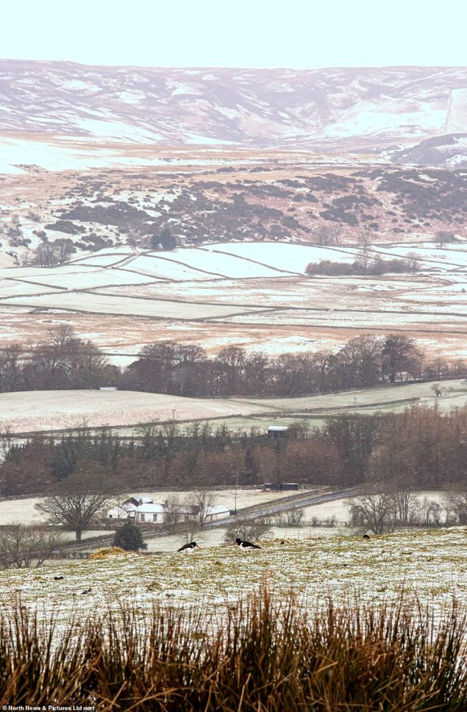 Two oyster catchers land on snowy ground in Upper Teesdale, in Co Durham, this morning on the first day of BST