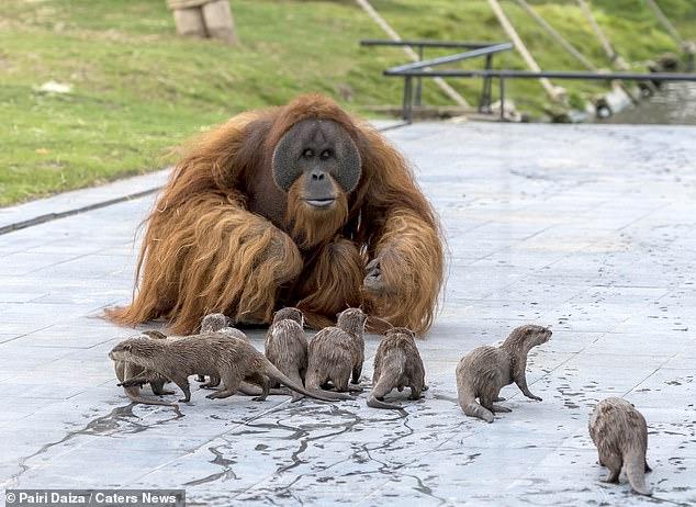 Des photographies extraordinaires capturent une famille d'orangs-outans qui ont développé un «lien très spécial» avec les loutres qui partagent leur enclos dans un zoo belge