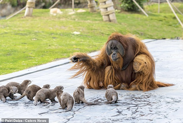Les trois orangs-outans, au zoo de Pairi Daiza à Brugelette, ont d'abord rencontré les loutres à petites griffes asiatiques après que le personnel ait décidé de faire passer leur rivière à travers le territoire des singes.