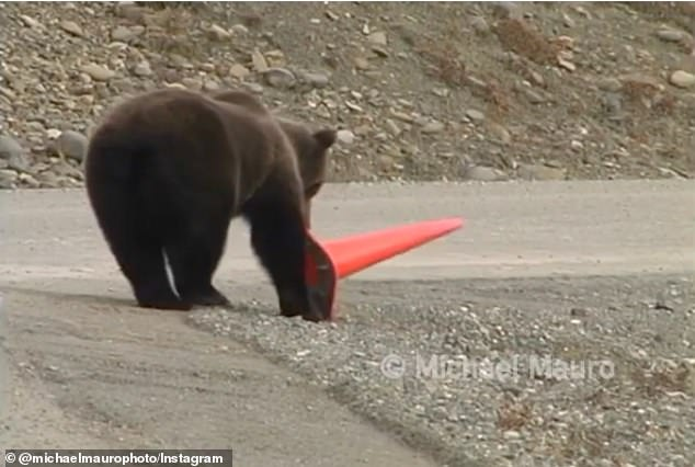 The bear uses its paw to help stand the cone up even more, which helps balance the object