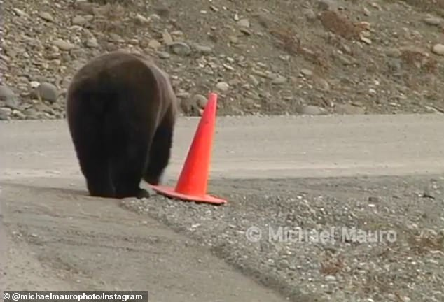 After standing up the cone with an audience looking on, the bear walks off triumphantly