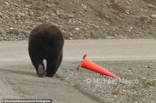 A bear at Denali National Park in Alaska approaches an orange cone lying in a gravel rock pit