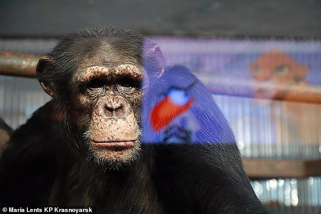 One of the chimps watches the screen in their enclosure in Krasnoyarsk, where zookeepers say the animals have been miserable since visitors stopped coming