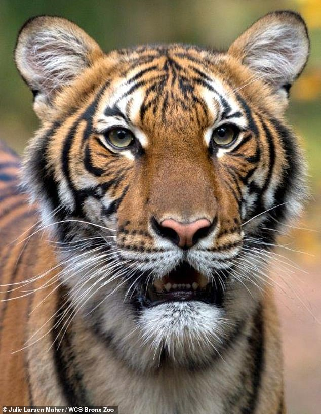 A four-year-old Malaysian tiger named Nadia (photo) at the Bronx Zoo in New York has tested positive for COVID-19, the Wildlife Conservation Society announced on Sunday.