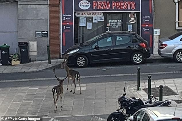 Weird images of the zebra appear as a clip of two wild deer wandering the streets of Boissy-Saint-Leger yesterday also appeared