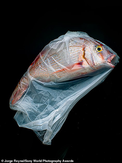 "Argentinian photographer Jorge Reynal was named the winner of the still life category with a heartbreaking image of a fish inside a plastic bag. He said: 'Each year, eight million tons of plastic end up in our oceans – equivalent to emptying a garbage truck into the water every minute. This is my protest against pollution. In my language (Spanish), we use the words ""Naturaleza Muerta"" to refer to still life, which ironically translates as dead nature'"