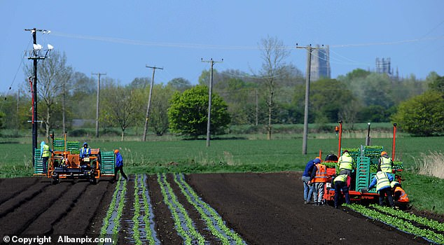 The young Romanians, a mixture of men and women, were then transported by bus to the company's 7,000 hectare super farm in East Anglia before the picking season started on Monday. Pictured: workers on site Friday