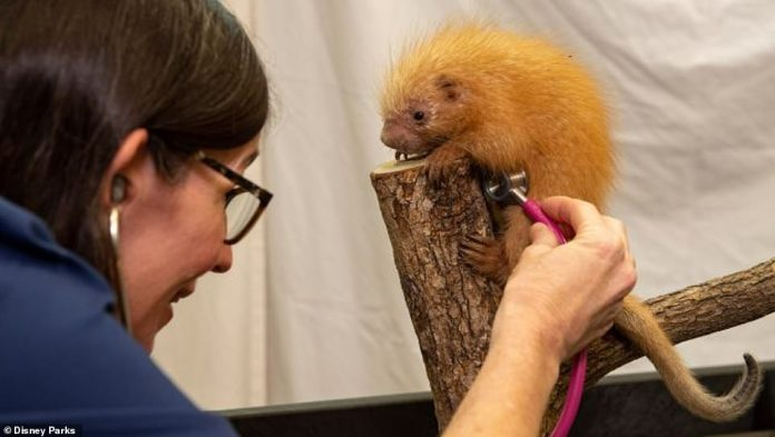 Animal Kingdom staff at Walt Disney World in Florida continue to care for animals, including this baby porcupine