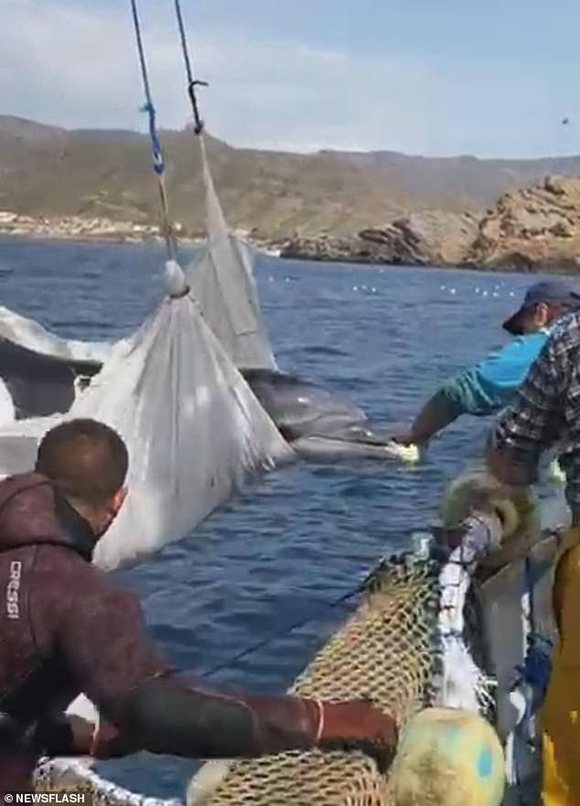 Some of the fisherman gave the dolphin a stroke and pat before it was let free into the sea