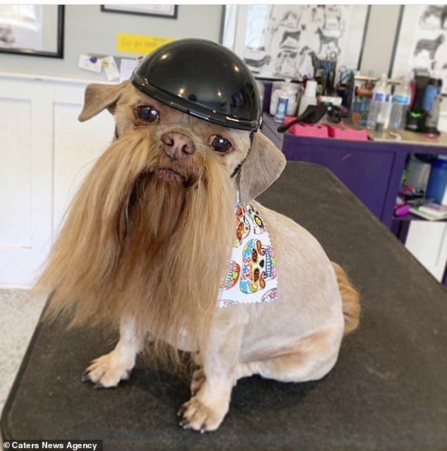 Doggone cool: Max, wearing a little biker outfit at the groomer's, has had several haircuts in the past, including a mohawk