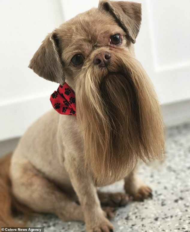 Max, an eight-year-old Shih Tzu from Utah, is a local celebrity thanks to his carefully trimmed beard, which is pampered every six weeks at a nearby grooming parlour
