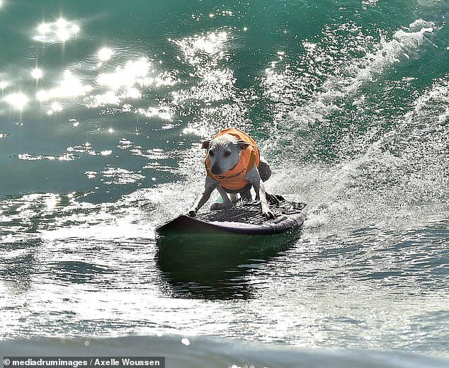 You go girl! Eight-year-old rescue dog Sugar regularly surfs with her owner in California