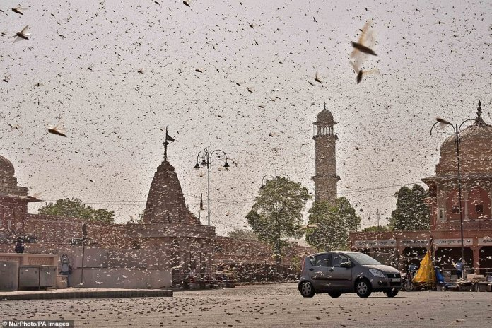 Swarms of locust attack in the walled city of Jaipur.Drones, tractors and cars have been sent out to track the voracious pests and spray them with pesticides. The locusts have already destroyed nearly 125,000 acres of cropland