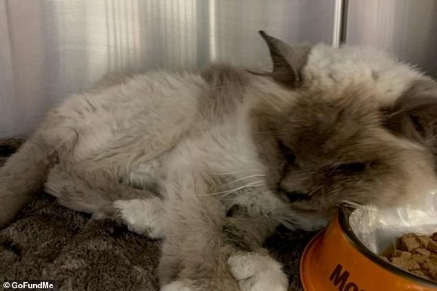 Miss Tsatsaris broke down when she saw Mishka (pictured) for the first time in a decade but was told the cat was in the process of dying if she did not get immediate medical attention