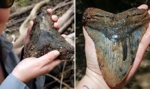 South Carolina Couple Discovers Giant Megalodon Shark Tooth in a Muddy River Bed That is Larger Than a Human Hand and Weighs About One Pound
