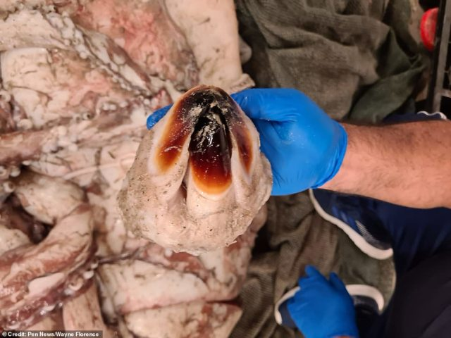 It's beak-like mouth is used by the marine giant to devour its diet of deep-sea fish and smaller squid species it pulls in with its strong tentacles