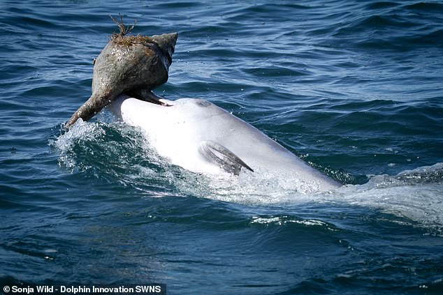 Dolphins can pick up new hunting skills from non-family members just like great apes — and don't always need mum to teach them the ropes, a study has found. Pictured, a dolphin in Western Australia's Shark's Bay shakes a fish out of the shell it was hiding in
