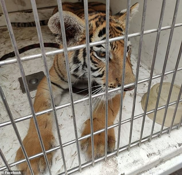 The female bengal weighed 77 pounds and was found to be in good health condition