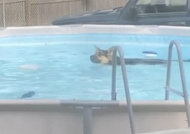 The dog who loved swimming as a puppy paddles around the pool for around 40 seconds before getting out