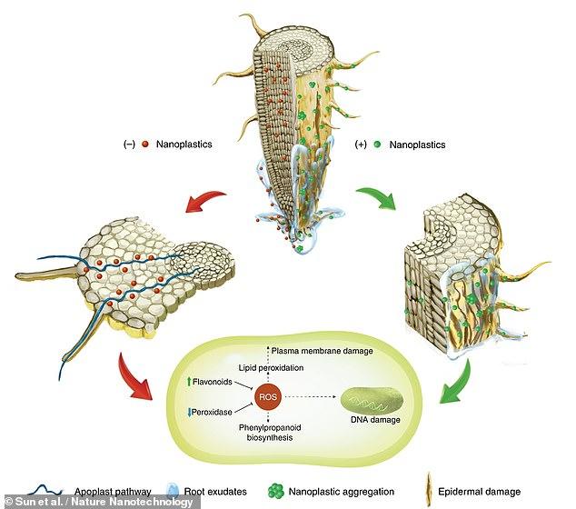 Un estudio publicado a principios de esta semana encontró que los nanoplásticos también podrían ser absorbidos por las raíces de las plantas.  Un diagrama de cómo sucede esto se muestra arriba