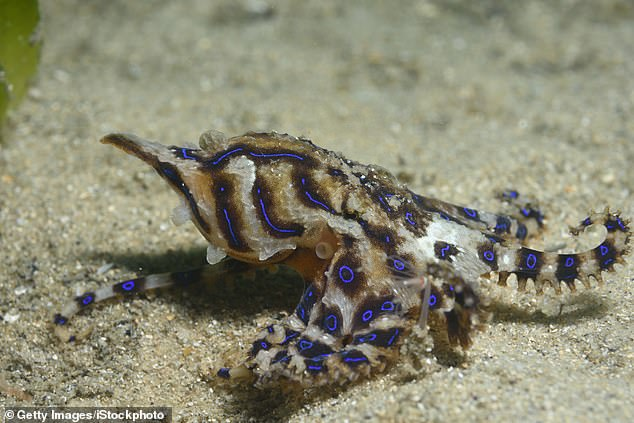 The blue-ringed octopus was spotted hidden in the sand in Sydney Harbour (stock image)