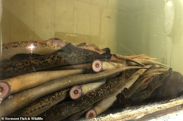 Sea lampreys kill an average of 40 pounds of fish a year, attaching to the bodies of other fish with their sharp, spiky teeth and sucking out blood and other body fluids