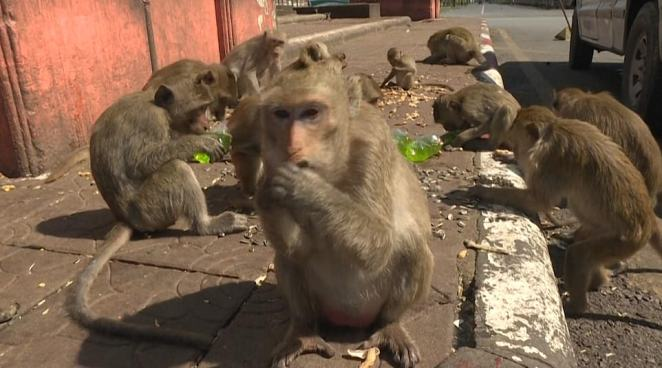 Litter is strewn across the city and the stench of their excrement is unbearable when it rains. Their growing numbers - doubling in three years - have made an uneasy coexistence with their human peers almost intolerable. Many areas have simply been surrendered to the marauding monkeys.