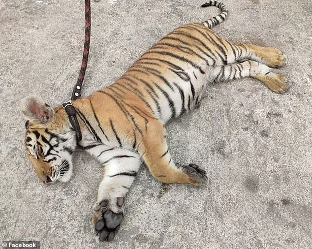 The office of Mexico's Federal Attorney for Environmental Protection [PROFEPA] has taken over the custody of the tiger to ensure its wellness