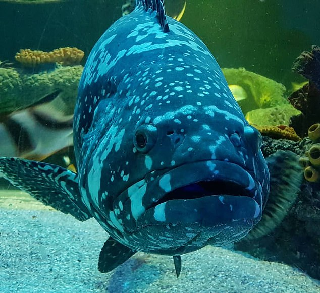 Queen gary is a queensland grouper. These fish can grow up to six-foot long and are the largest in the reef. They are thought to be highly intelligent