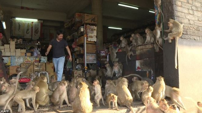 A troop of macaques invades a shop. People have sought to appease them with junk food, but the sugary diet has turned them sex-crazed and that they are now breeding faster than before.
