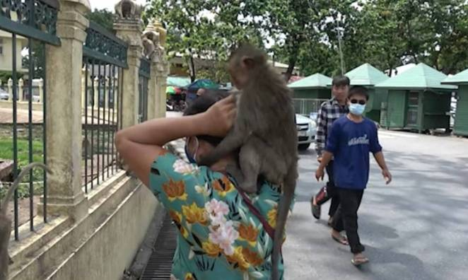 Macaques monkeys are still causing havoc in the Thai city of Lopburi as footage of the 'sex-crazed' pests shows them attacking a woman. The monkeys are used to being fed by tourists, but with lockdown resulting in fewer people visiting Lopburi, they are becoming more erratic in their behaviour