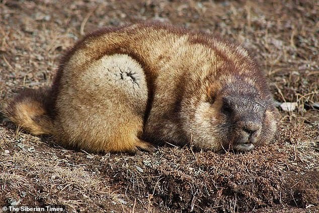 Two suspected cases of the black plague - which is linked to the consumption of marmot meat - have been identified, health experts announced on Wednesday. Pictured is a Mongolian marmot