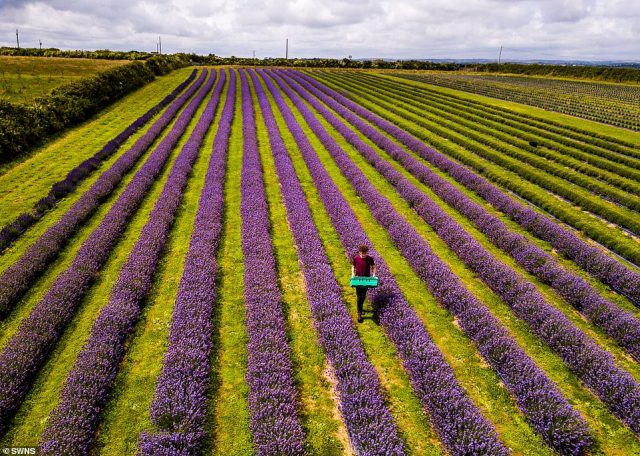 After four years of harvesting lavender, the couple have opened Roskorwell Farm to the public for the first time, with social distancing measures in place amid the coronavirus pandemic