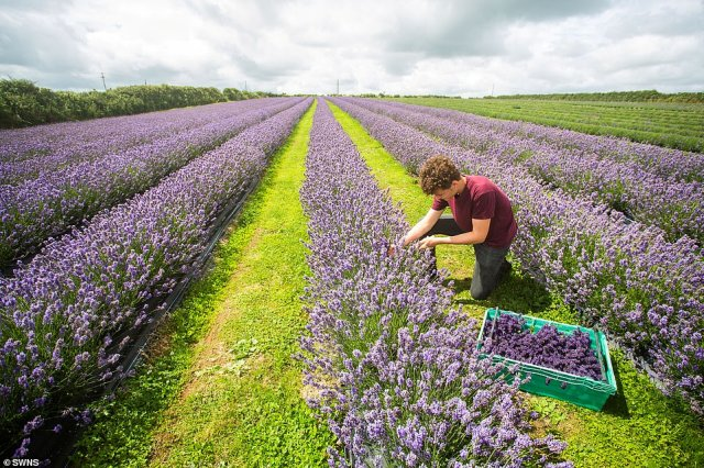 Rows of lavender plants are hand-plucked from their stalks at Roskorwell Farm owners as the flowers begin to be harvested