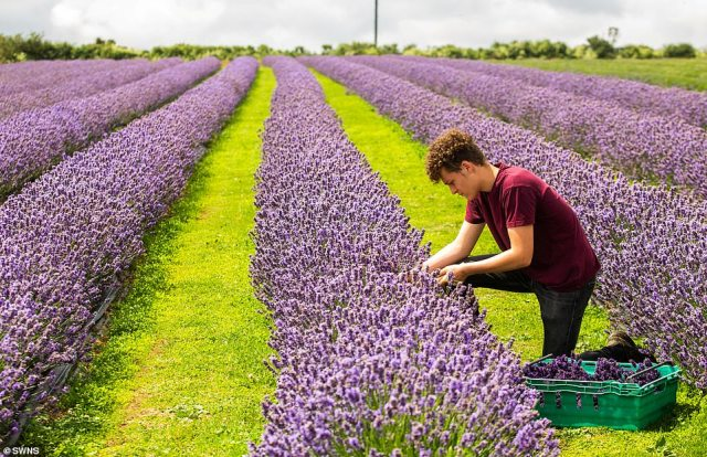 Alfred Buckingham harvests rows of bright purple lavender flowers at the Roskorwell Farm on the Lizard Peninsula in Cornwall