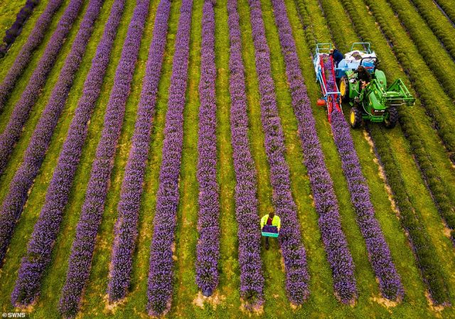 The farm's lavender boom has been attributed to an 'unusually warm spring' that was perfect for the flowers to blossom in