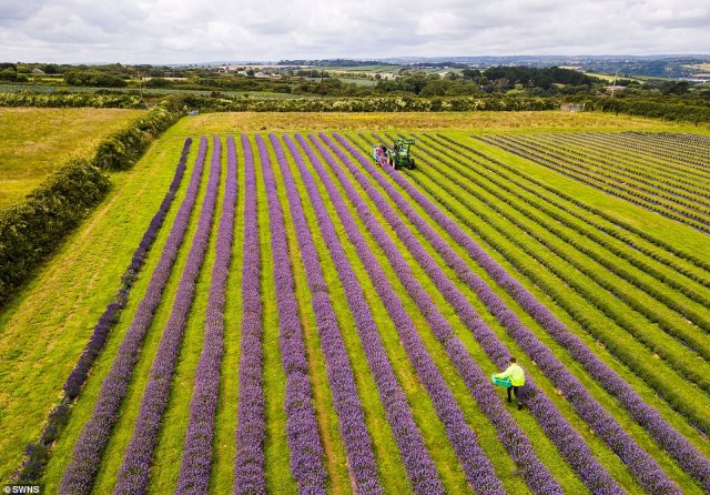 A drone captured an aerial photograph ofRoskorwell Farm's stunning lavender crop on July 3, midway through the harvesting process