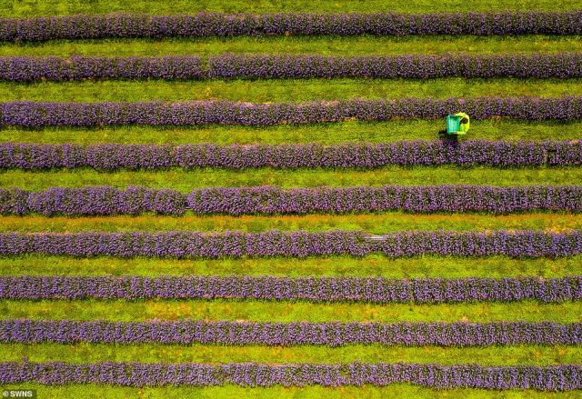 Roskorwell Farm is Cornwall's first lavender farm and the flowers are planted across six acres of well-drained Lizard soil