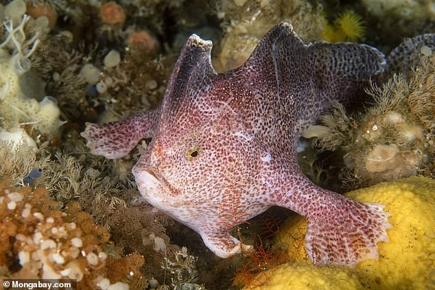 However, Only four of the 13 handfish species have been spotted in the past 20 years leading experts to believe many more may have been lost to extinction. Pictured is the Ziebell's handfish, which is a critically endangered speices