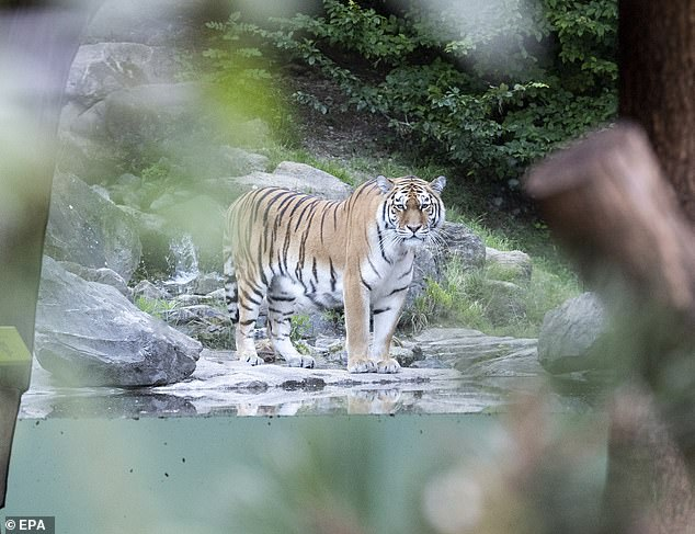 Horrified visitors sounded the alarm after watching the tiger attack the guard at 1:20 p.m. local time on Saturday, but first responders were unable to save the zoo keeper