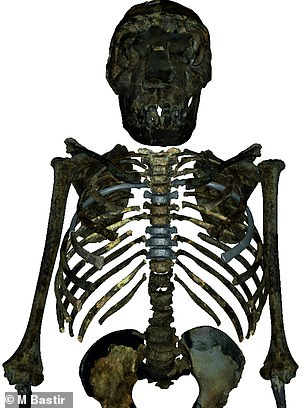 Reconstructed upper body skeleton of the 1.5 million years old Homo erectus youth from West Turkana, Kenya