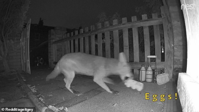 The fox doesn't drop a single egg as he takes the first carton in its mouth and runs off with them