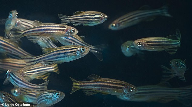 Adult zebrafish in the lab. Around 70 per cent of human genes are found in zebrafish, according to scientists, which makes them well suited as lab models