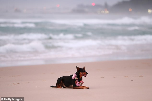 The couple's Kelpie Rummi (pictured) waits on the beach while the surfers paddle out to pay their respects